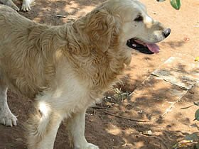 Golden retriever adult